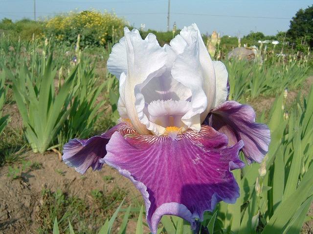 単純に美しいと思える白紫の花です!(^^)♪